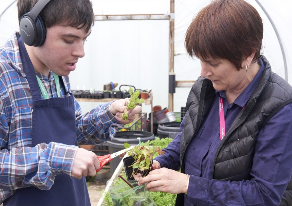 Student in horticulture learning to grow and harvest salad to sell as part of his study programme