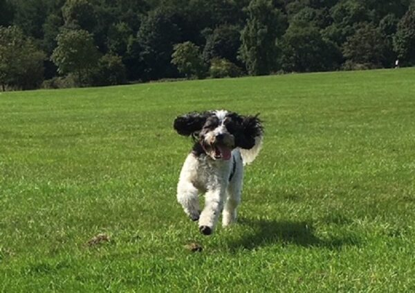 Cockapoo dog running across a grassy area