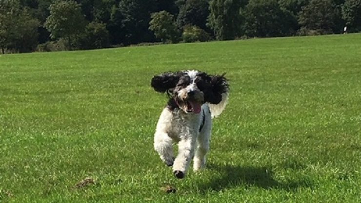Cockapoo dog running across a grassy area