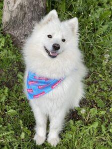 white fluffy dog wearing a henshaws bandana